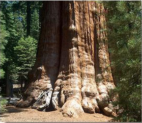 giant-sequoia2